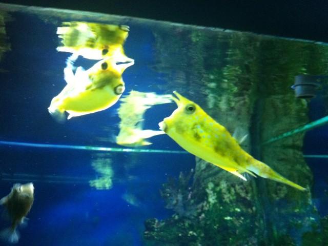 Рыбы-коробки