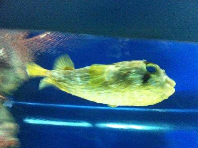 Рыба-улыбака