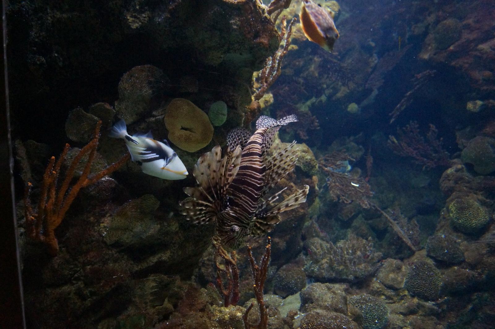 Крылатка и рыба-пикассо