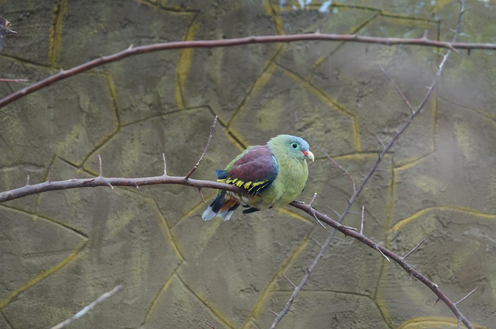 Пухлая птица