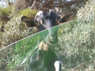 Жадный козел